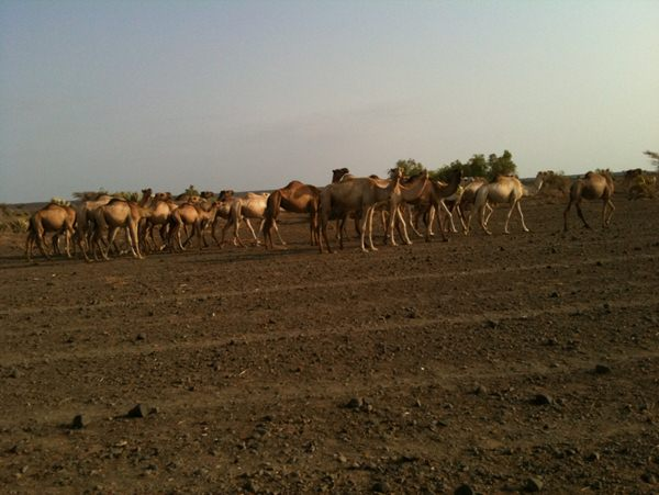 Camel herd on way out of Lake Turkana
