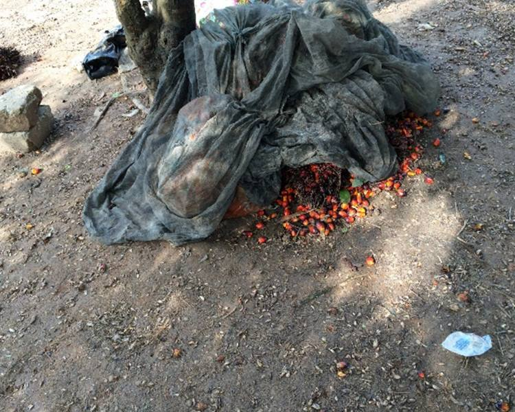 The pips from the palm tree are firs cooked and boiled