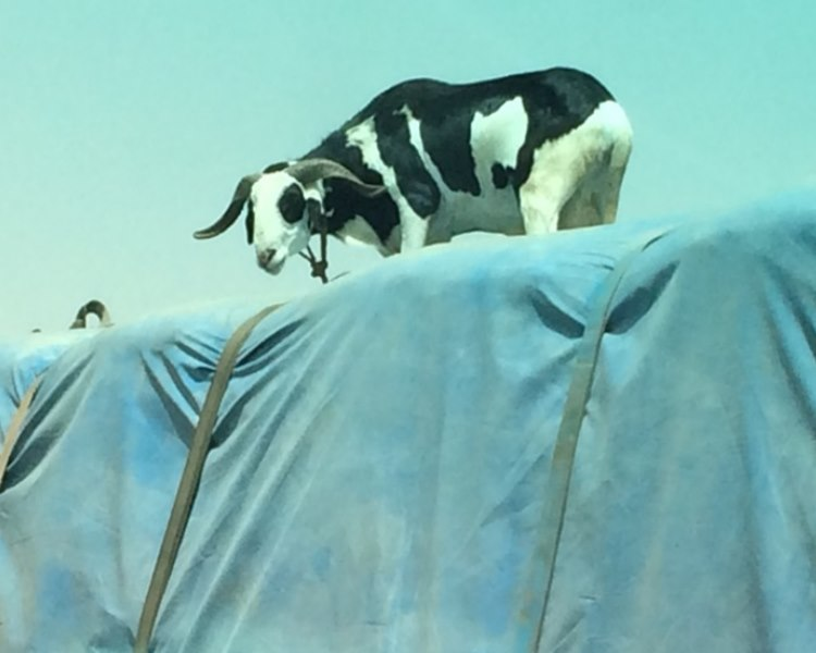 cow on top of a fully loaded truck driving at 100km
