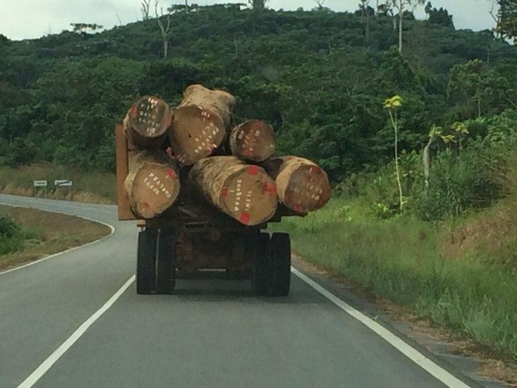 Heavy trucks carrying trees of 1.6m in diameter