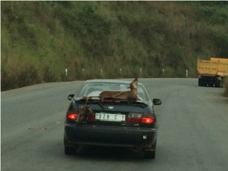 A live goat being tied onto the boot of a car