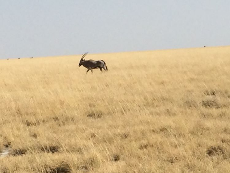 And a lone gemsbok…. Amongst others