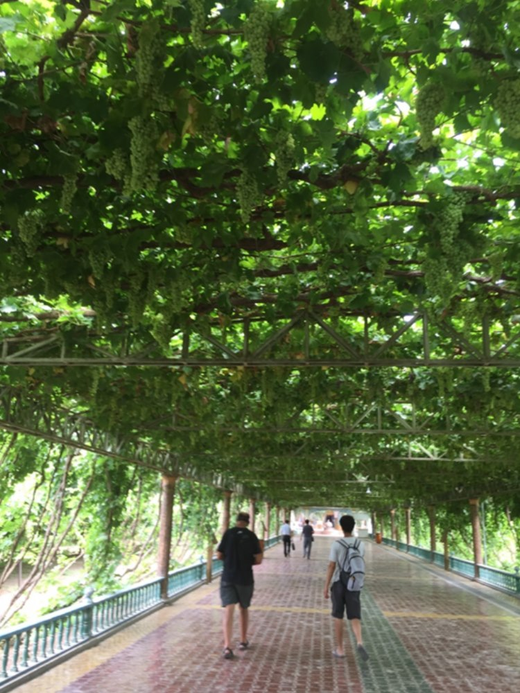 Walking under beautiful grapes