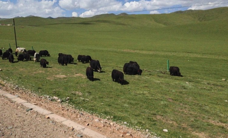 herds of Yaks could be seen grazing the lands